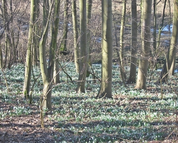 Carpet of Snowdrops